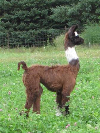 DDH's female cria